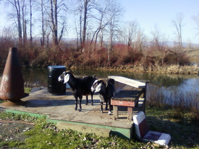 The two Nubian goats next to the river